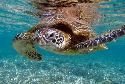 A green sea turtle graces the lagoon