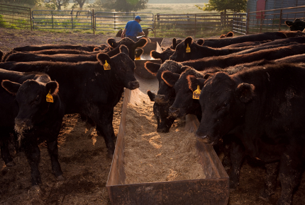 Feeding livestock food waste could increase sustainability