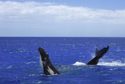 Humpback whales breach off Fraser Island