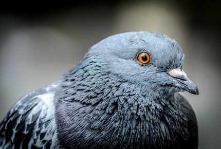 What weird thing will London's pigeons soon be wearing?