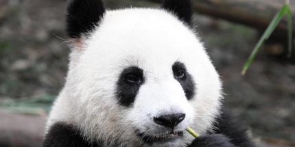 PandaWildlife