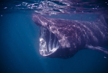 Protected basking sharks migrate past the Isle of Man in July