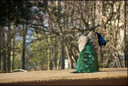 Roaming peacocks add to the park's mystique