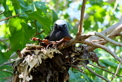 Slapdash nests drape from the pisonia forest