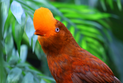 Spotting the Andean cock-of-the-rock in Peru's Amazonas region shouldn't be hard