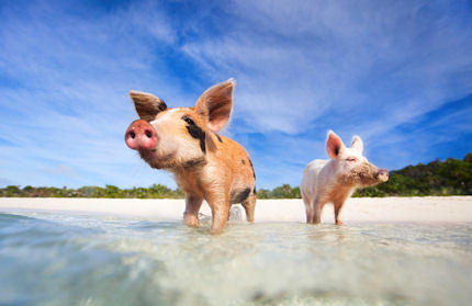 Sun, sand and swine on Pig Island
