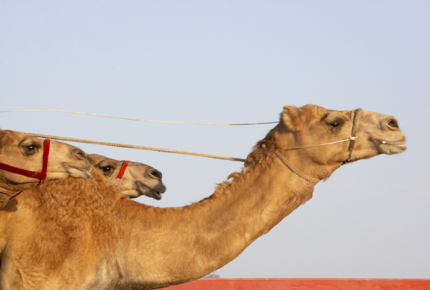 The Camel Cup takes place in Alice Springs, Australia