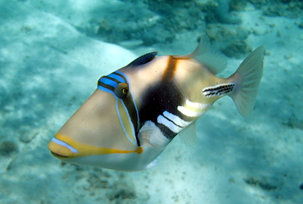 The strikingly handsome Picasso triggerfish
