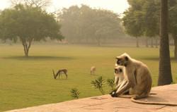 Monkey crossing road in India