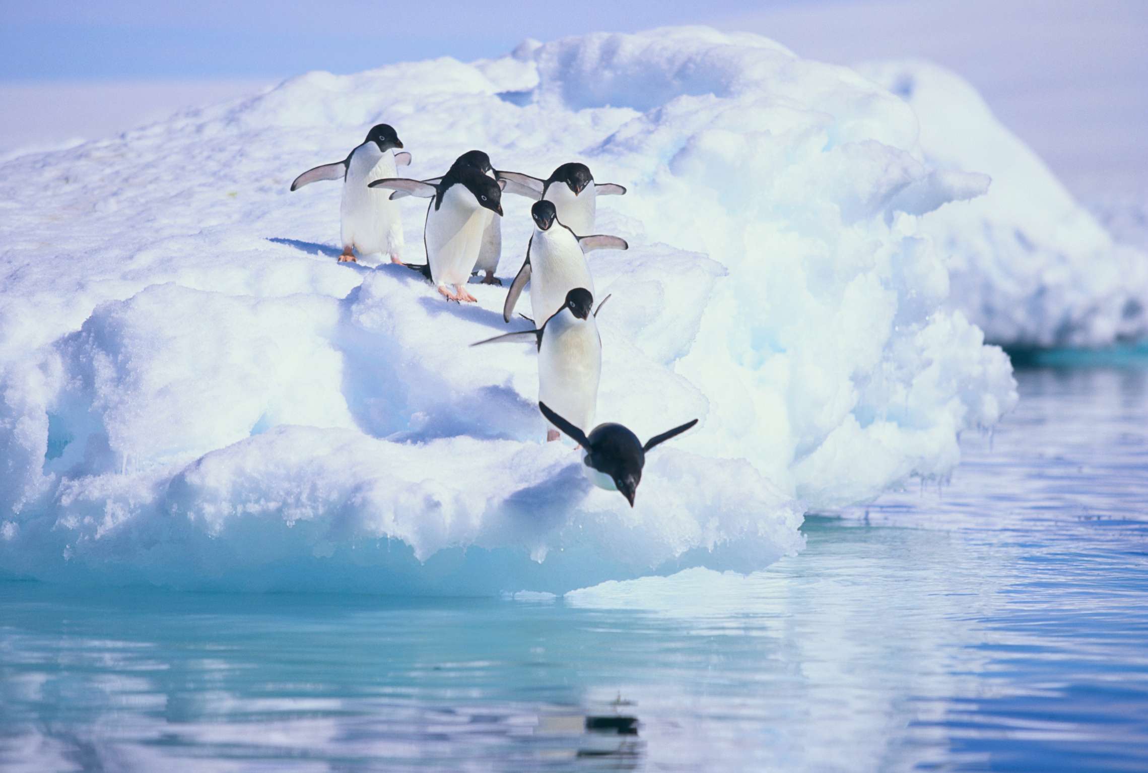 Adelie penguins of Antarctica