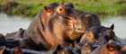 Wallowing hippos