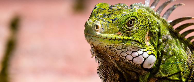 Iguanas can be found all over Aruba