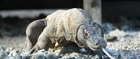 Komodo dragons are not afraid of humans