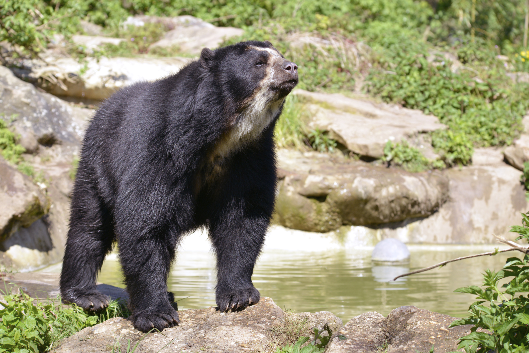 See an Andean bear in Bolivia