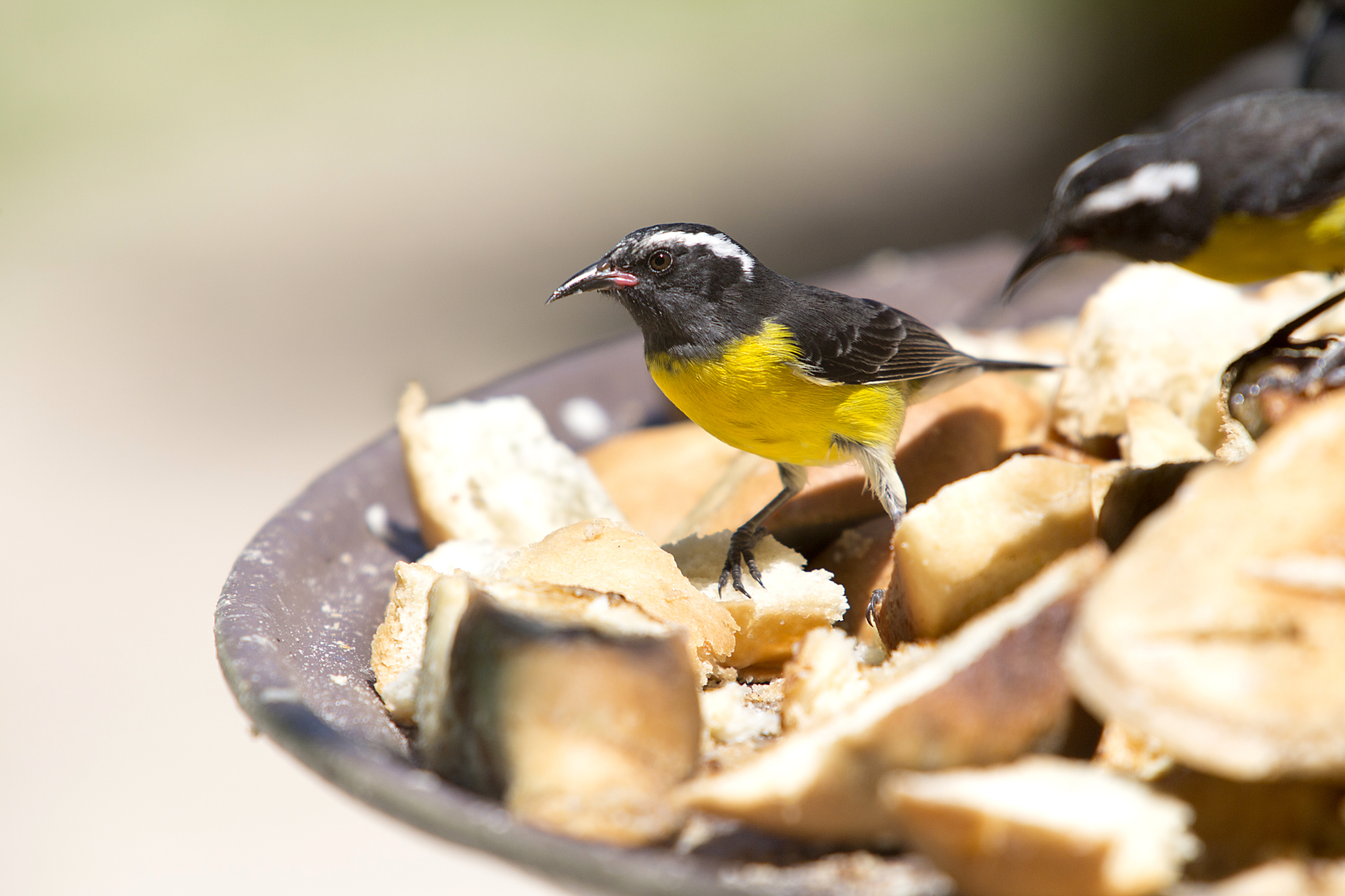 The bananaquit bird can be found on these twin islands