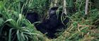 Rwanda has one of the world's largest gorilla populations