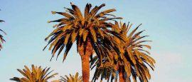Golden Palm Trees, San Marino, CA