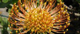 Madeira flower