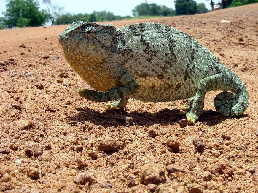 Chameleon, Paoua, CAR