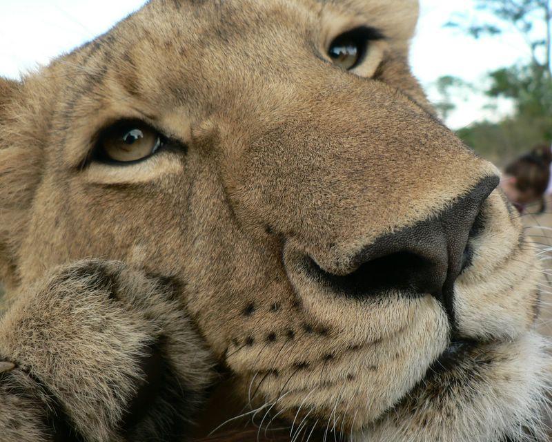 Walking with lions, Zimbabwe