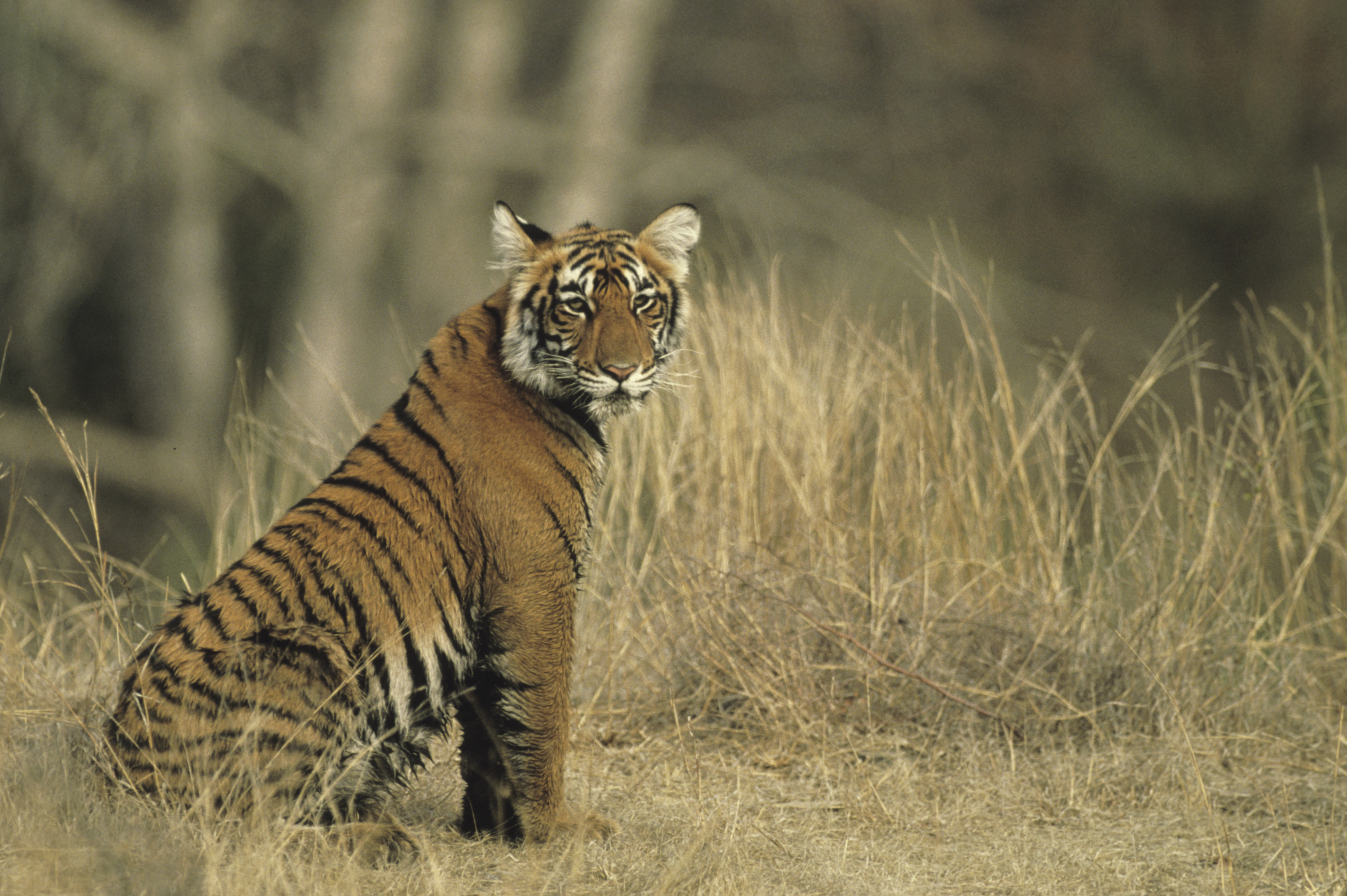 Go tiger spotting in Rajasthan, India