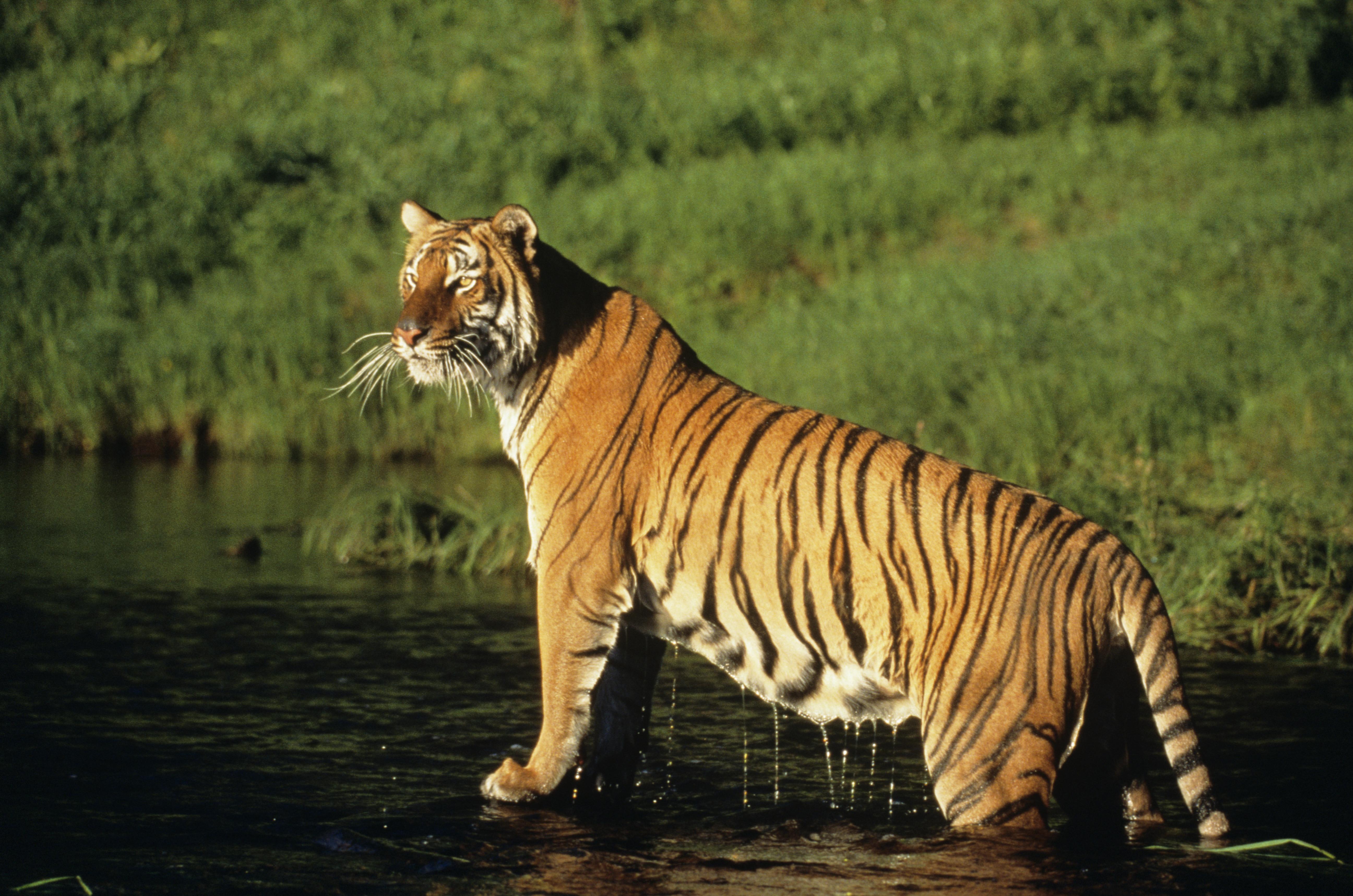 Go tiger spotting in Nepal