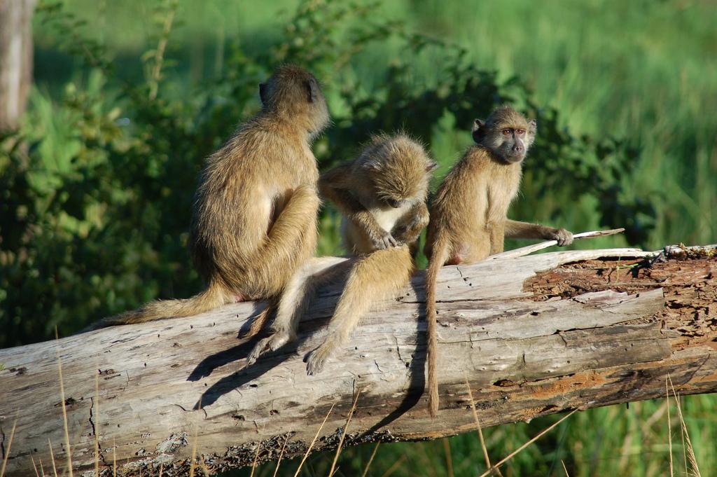 Monkeys, South Luangwa National Park