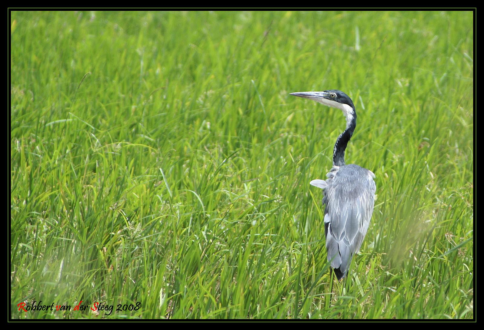 Black Headed Heron in a Somali rice field