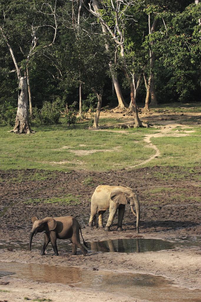 Elephants in the Dznaga Sangha reserve, CAR