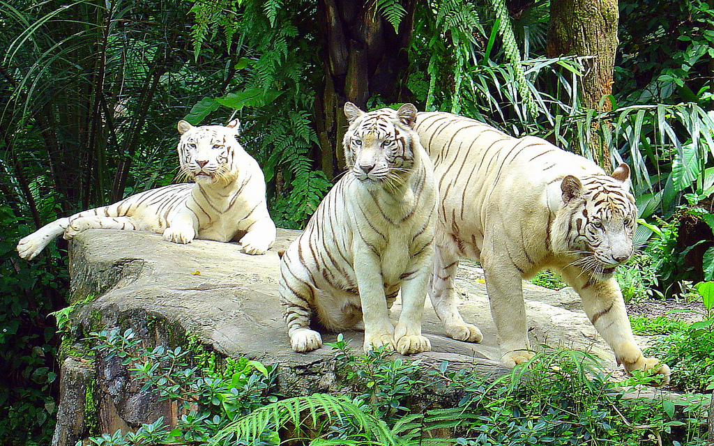 Visit white tigers in Singapore Zoo