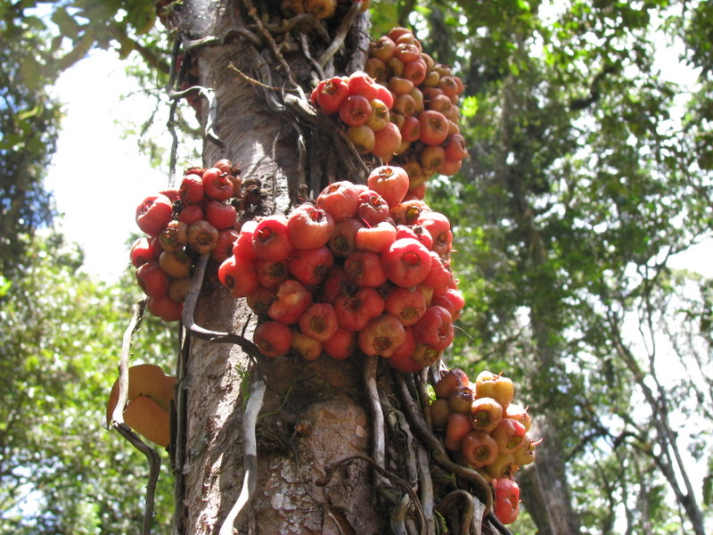Cauliflorus tree, Kokoda Track, Papua New Guinea