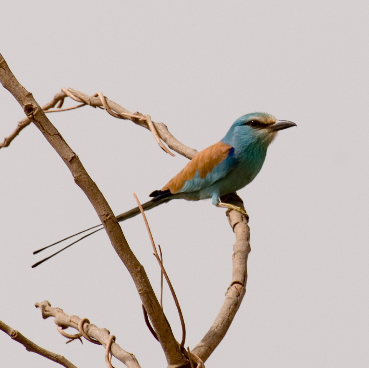 Abyssinian Roller, Gambia