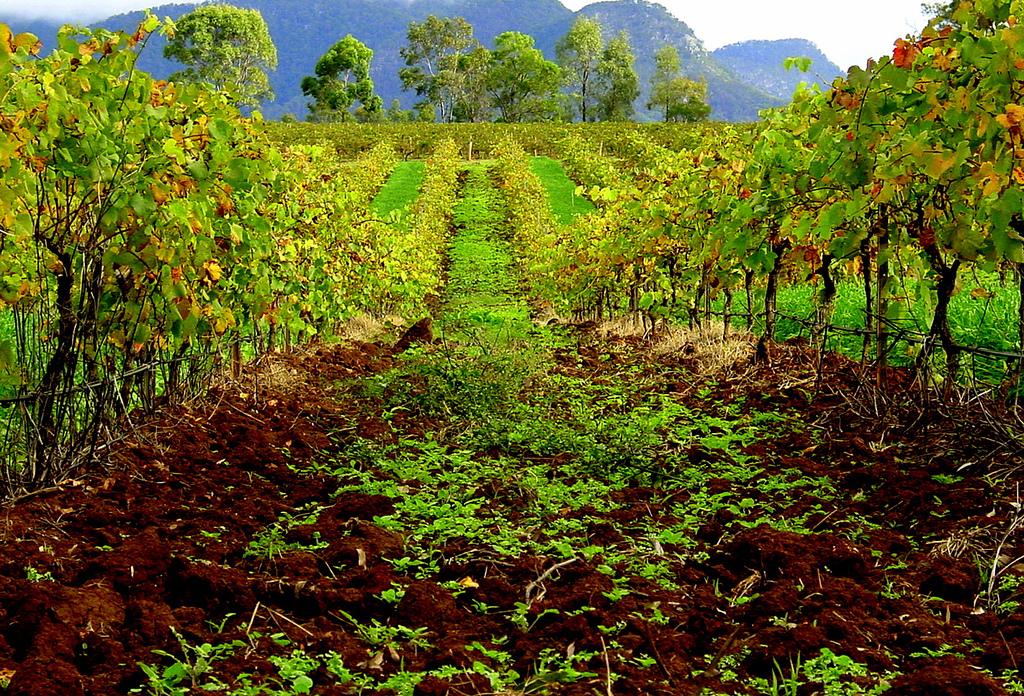 Hunter Valley wineyard, New South Wales