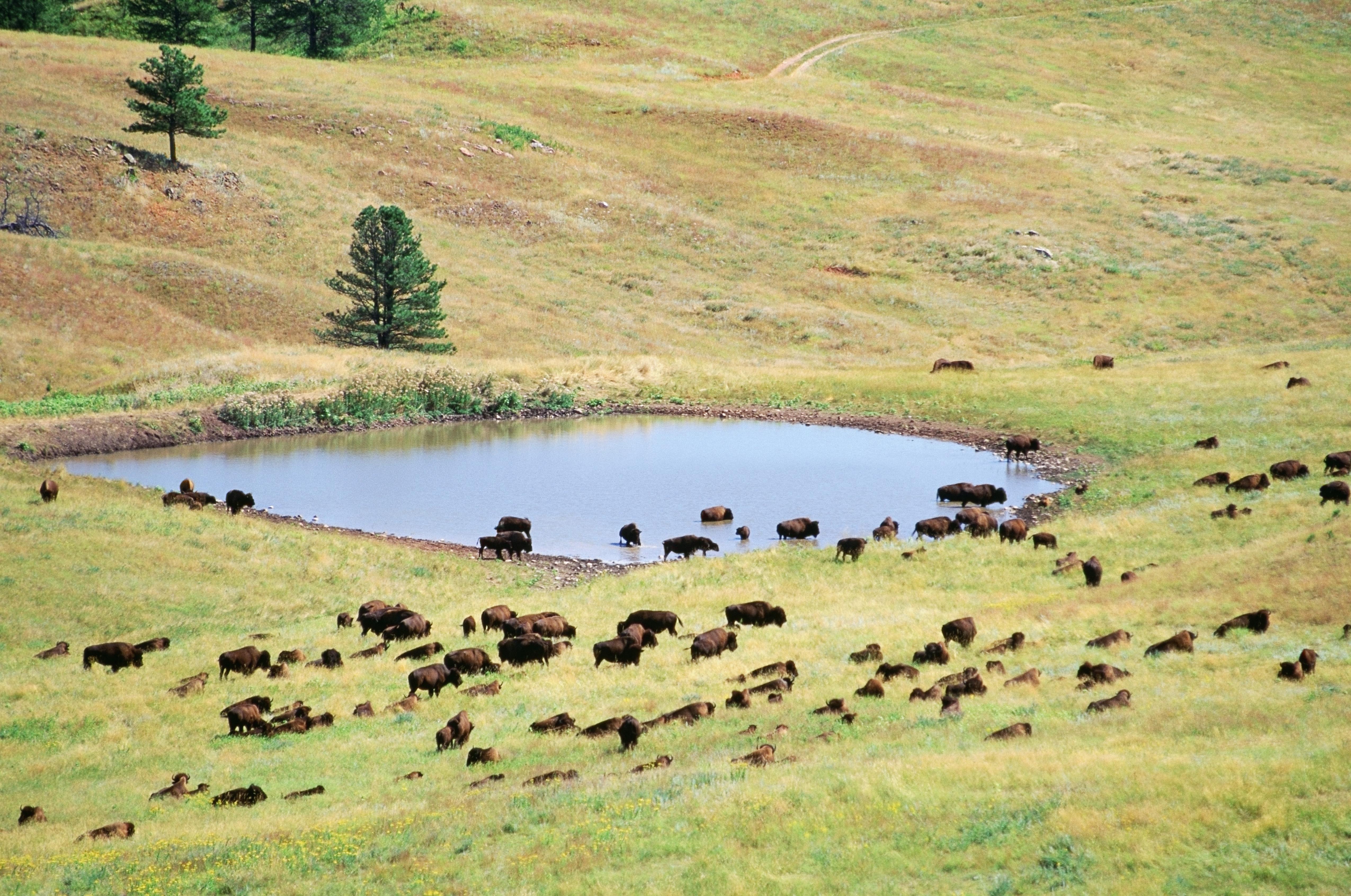 Buffalo grazing, South Dakota