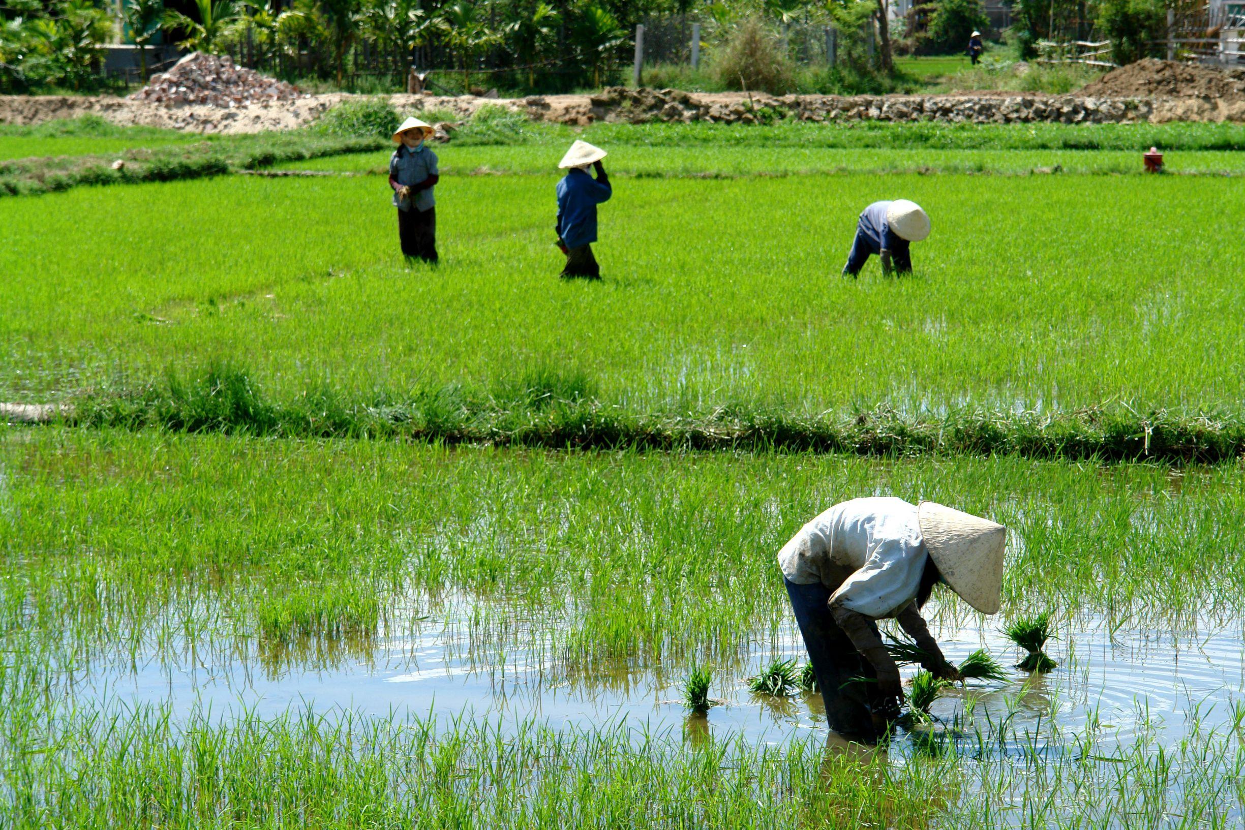 Rice fields, Vietnam