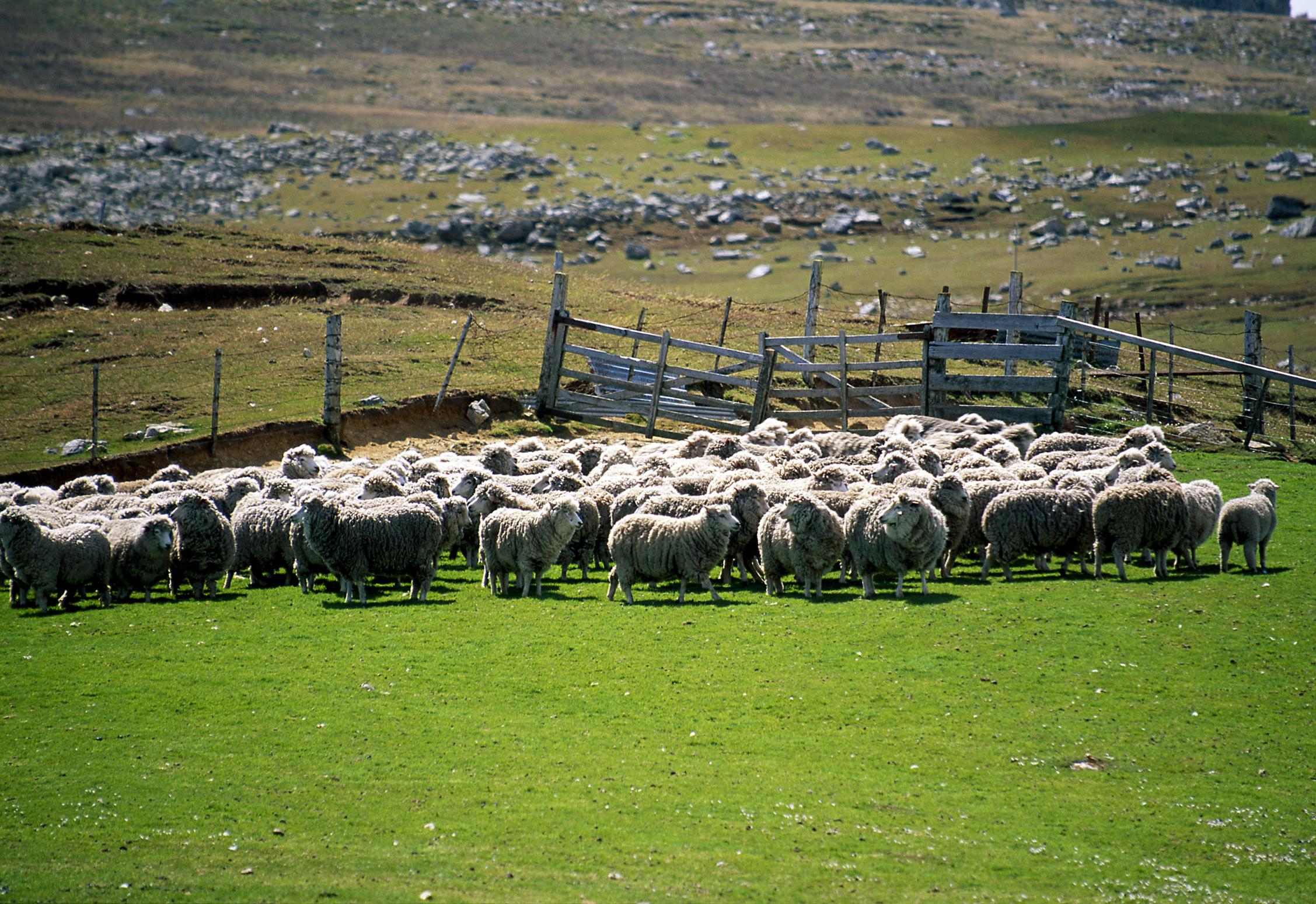 Corral of sheep, Port Stanley, Falkland Islands