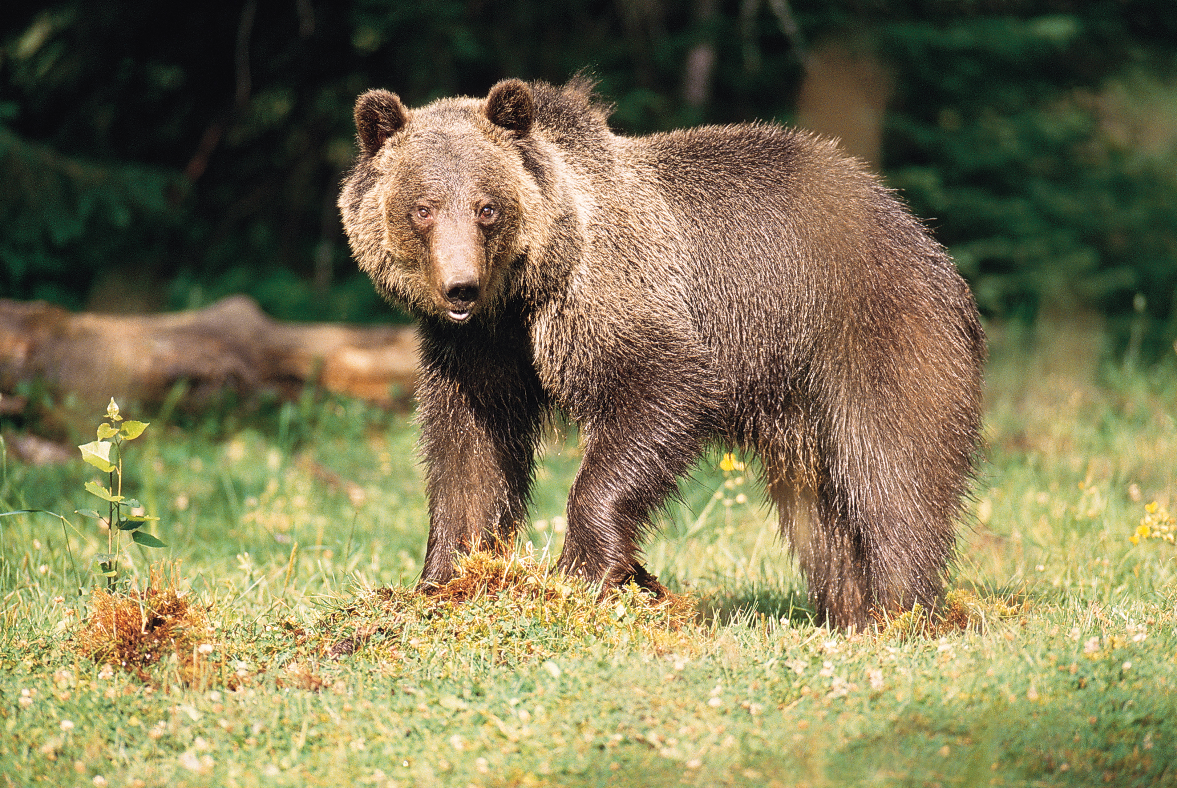 Montana is home to grizzy bears