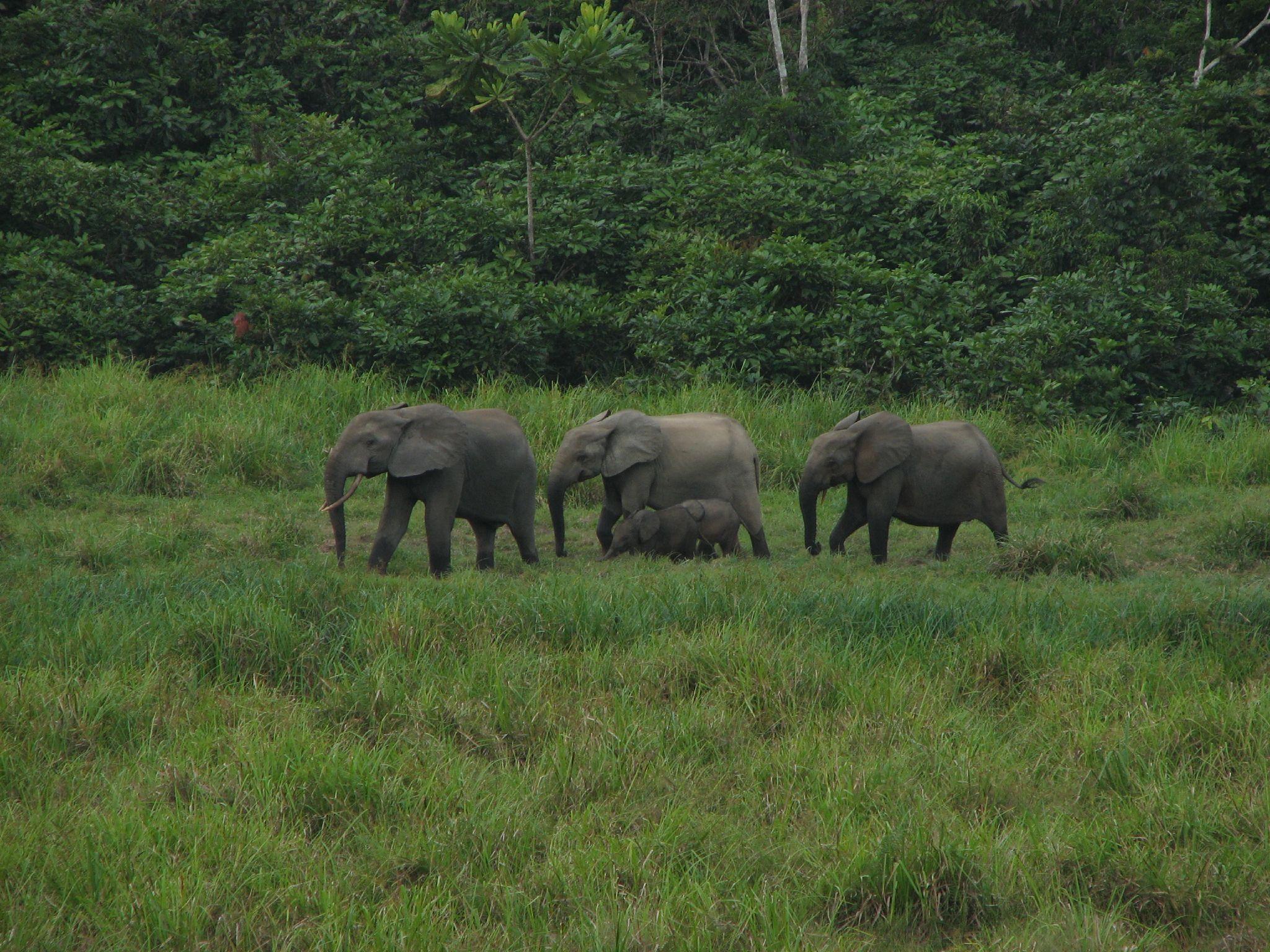 Elephants in Gabon