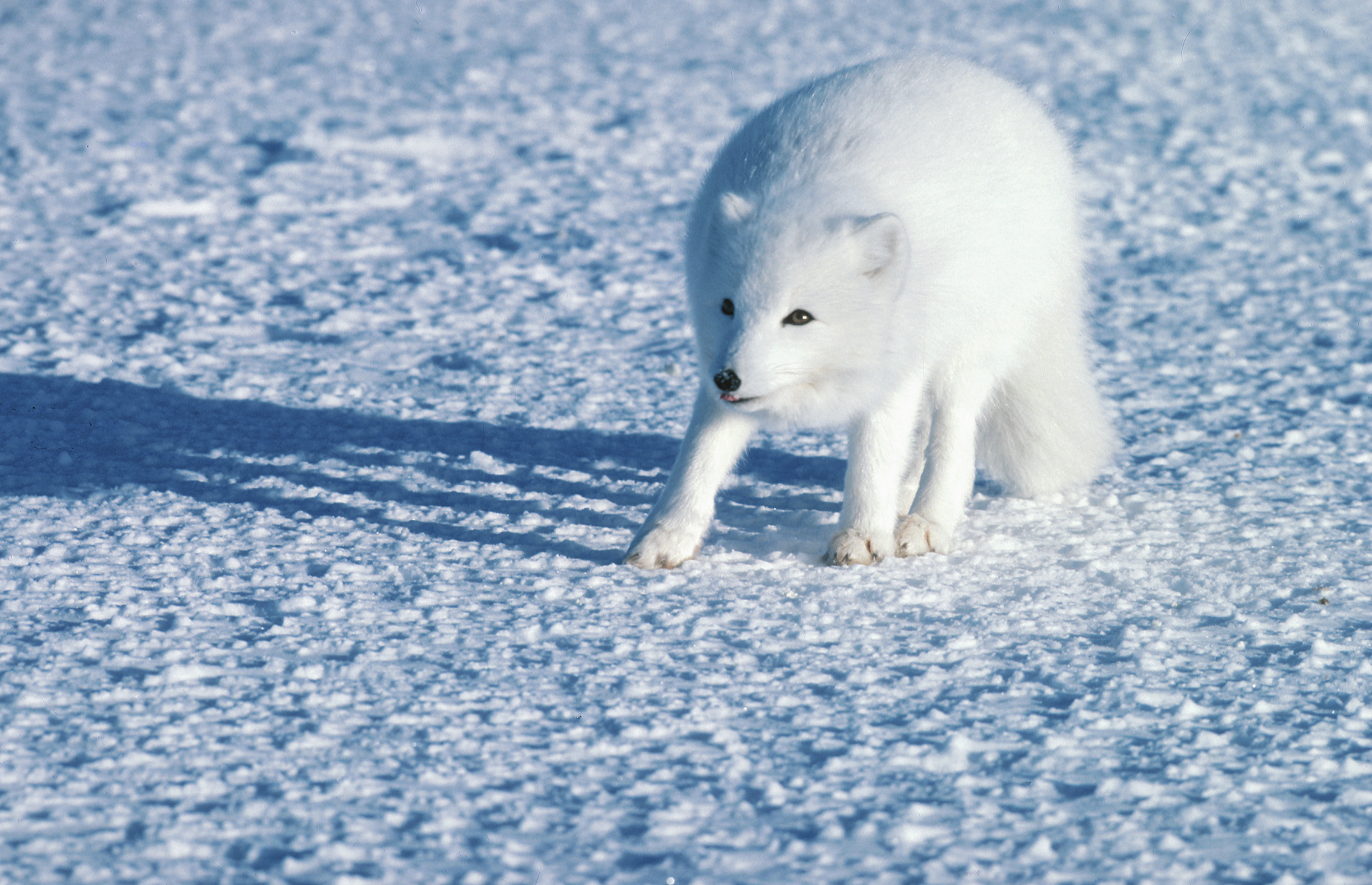 Arctic foxes are seen during Manitoba's winters