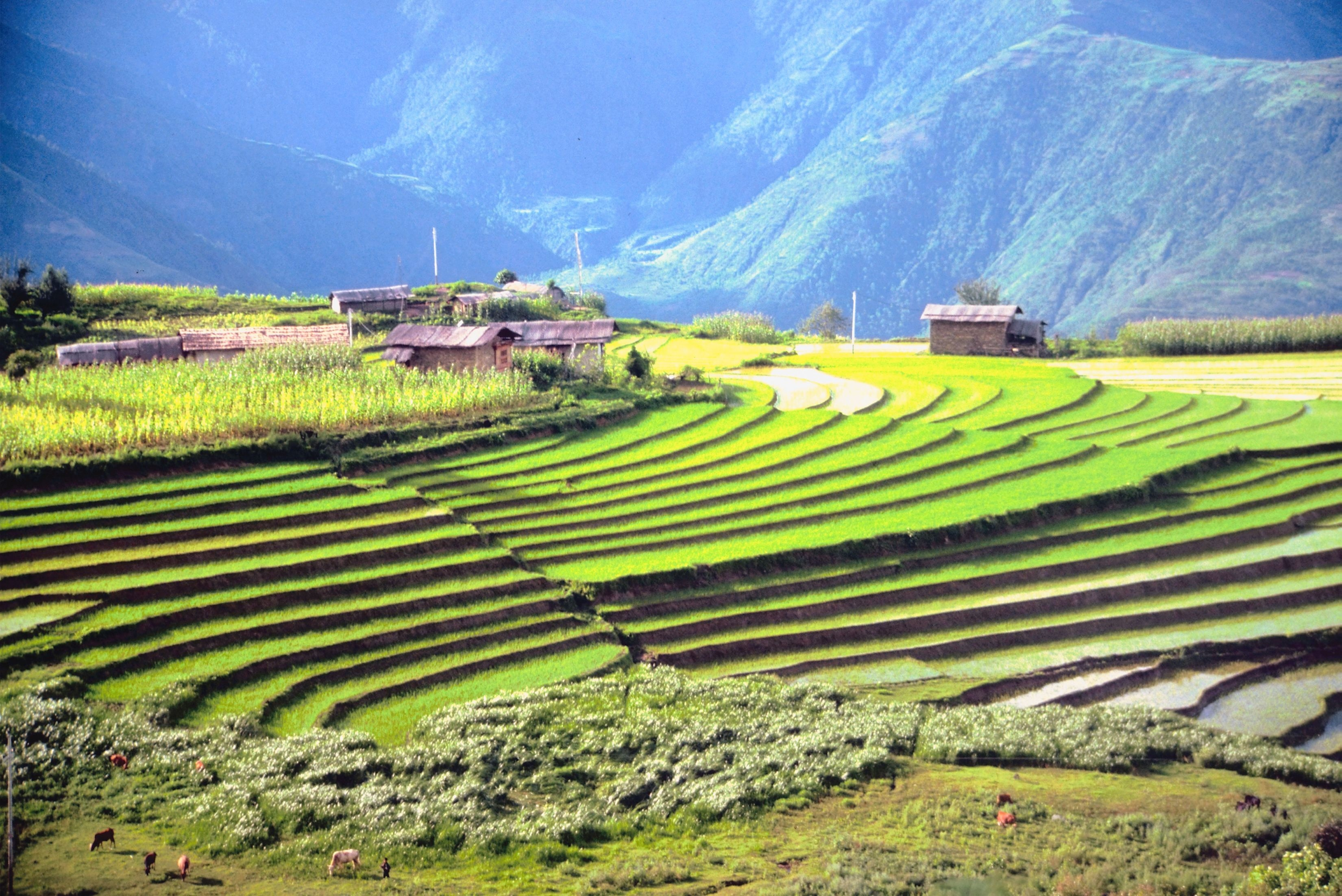 Rice paddies, Bhutan