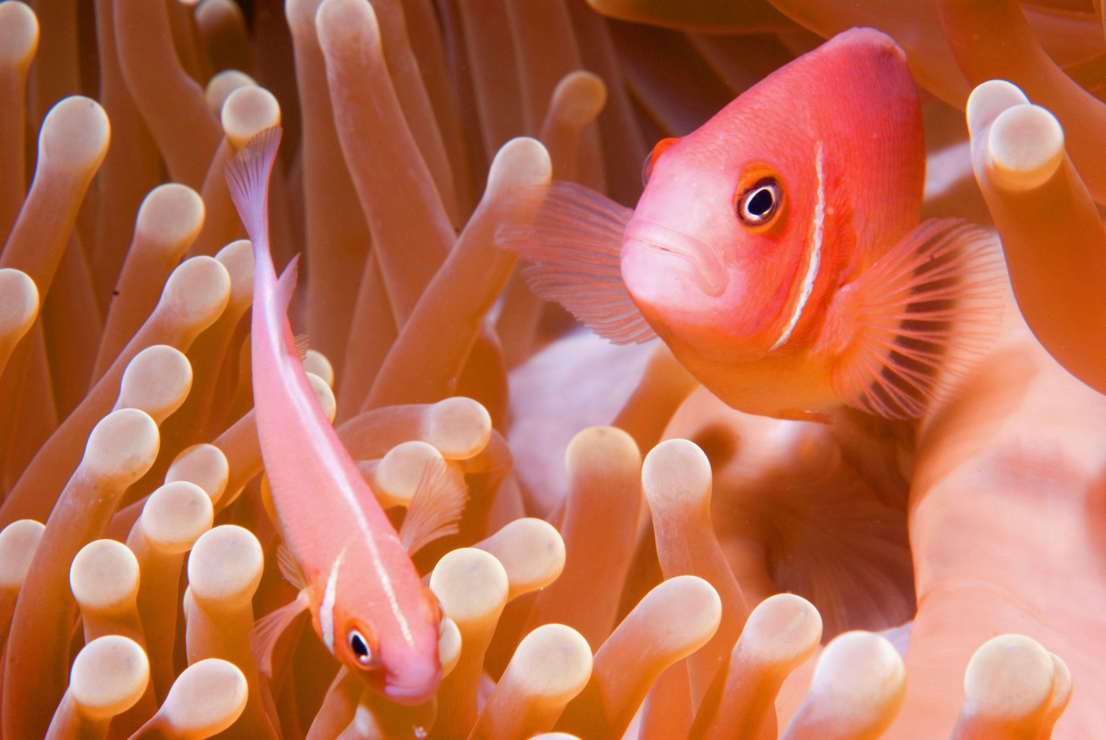 Clown fish in Truk Lagoon, Micronesia