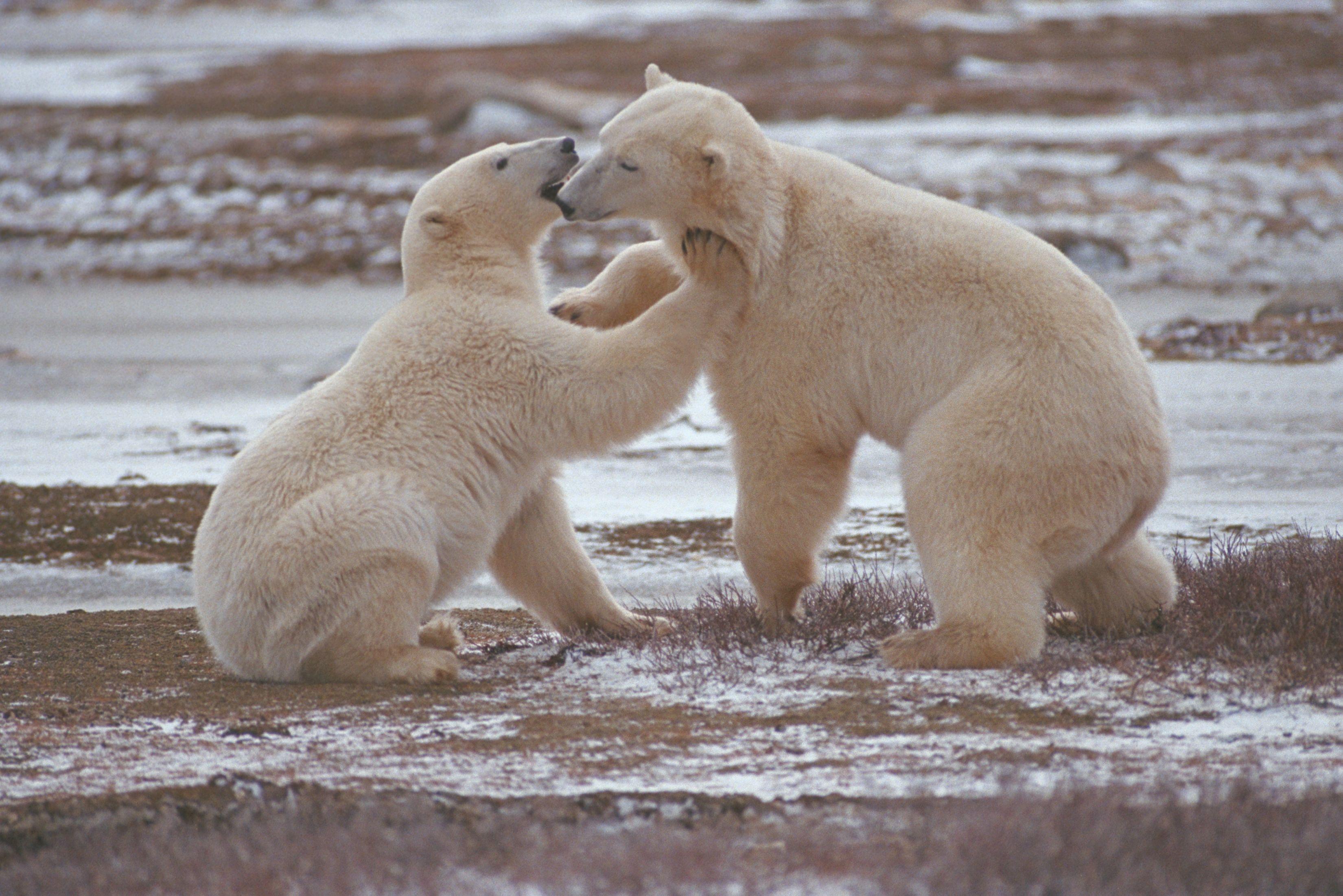 Churchill's polar bears, Manitoba