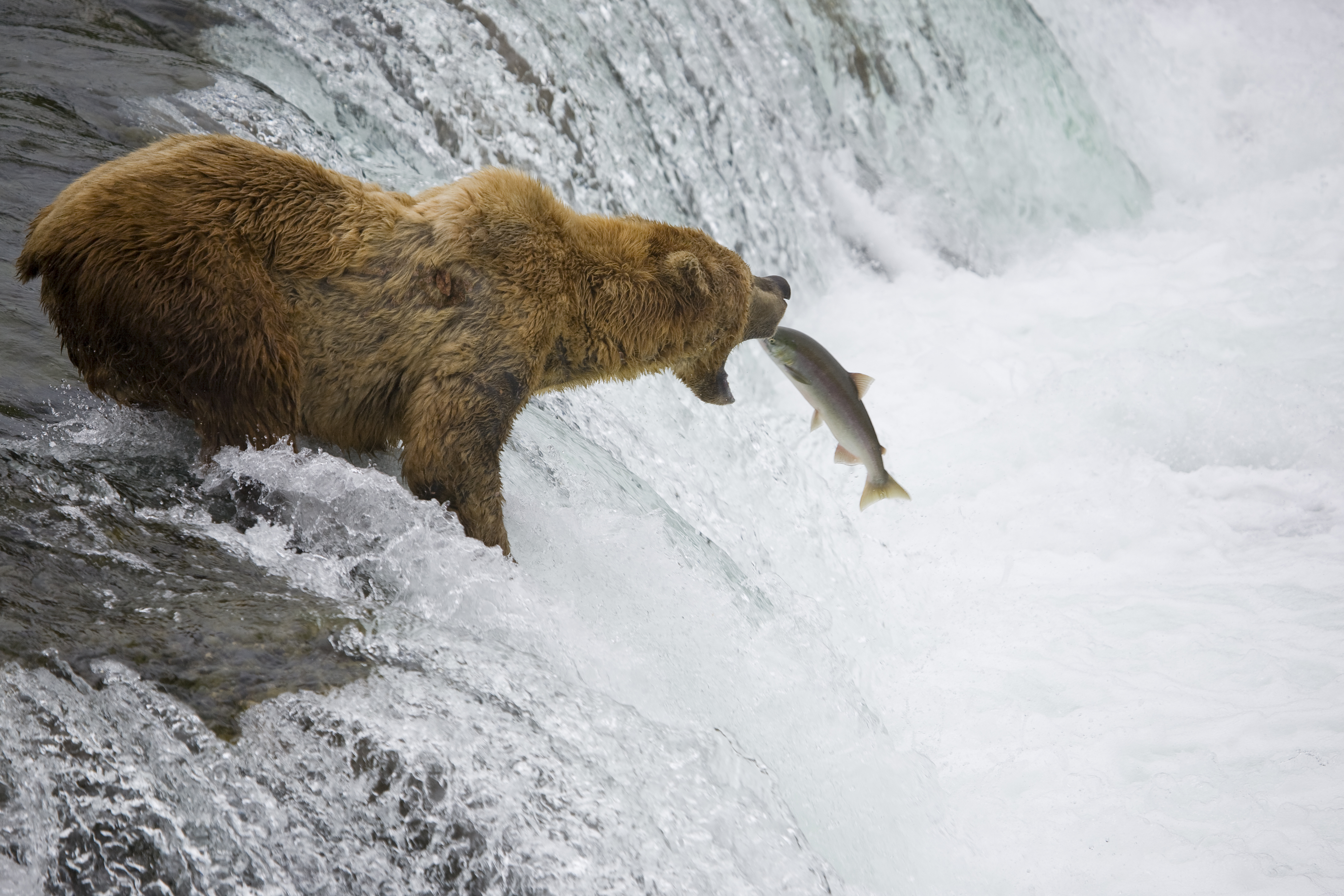 Bear catching salmon, Alaska
