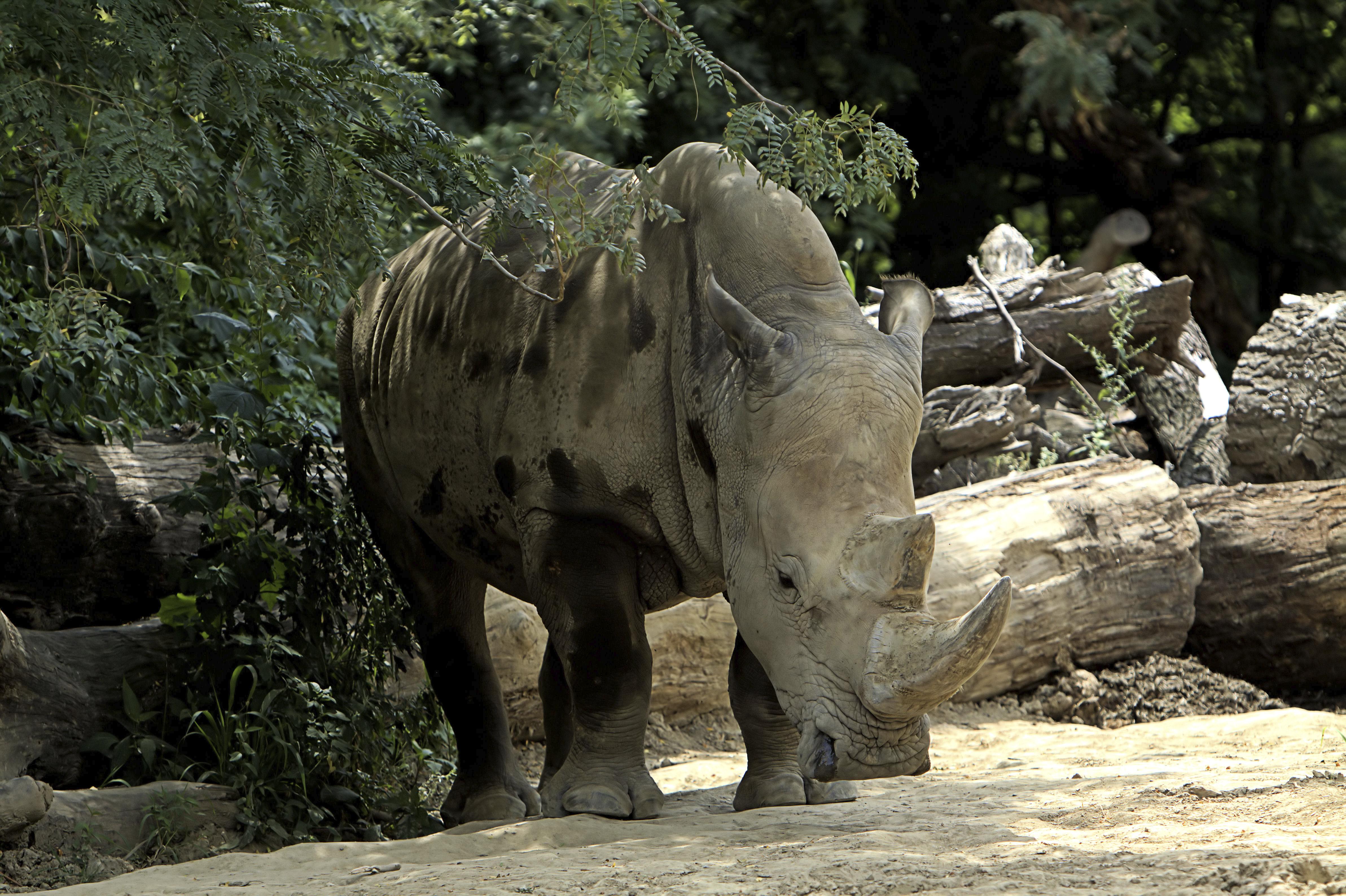 White rhino at Omaha's Henry Doorly Zoo, Nebraska