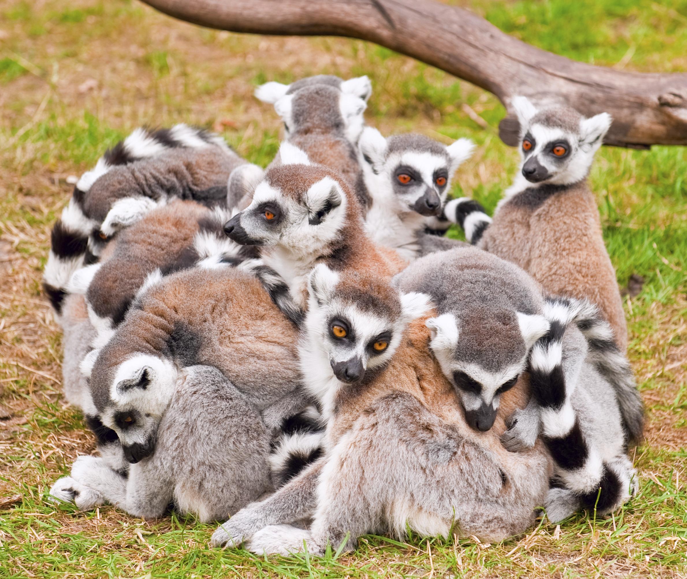 Ring tailed lemurs, Comoros