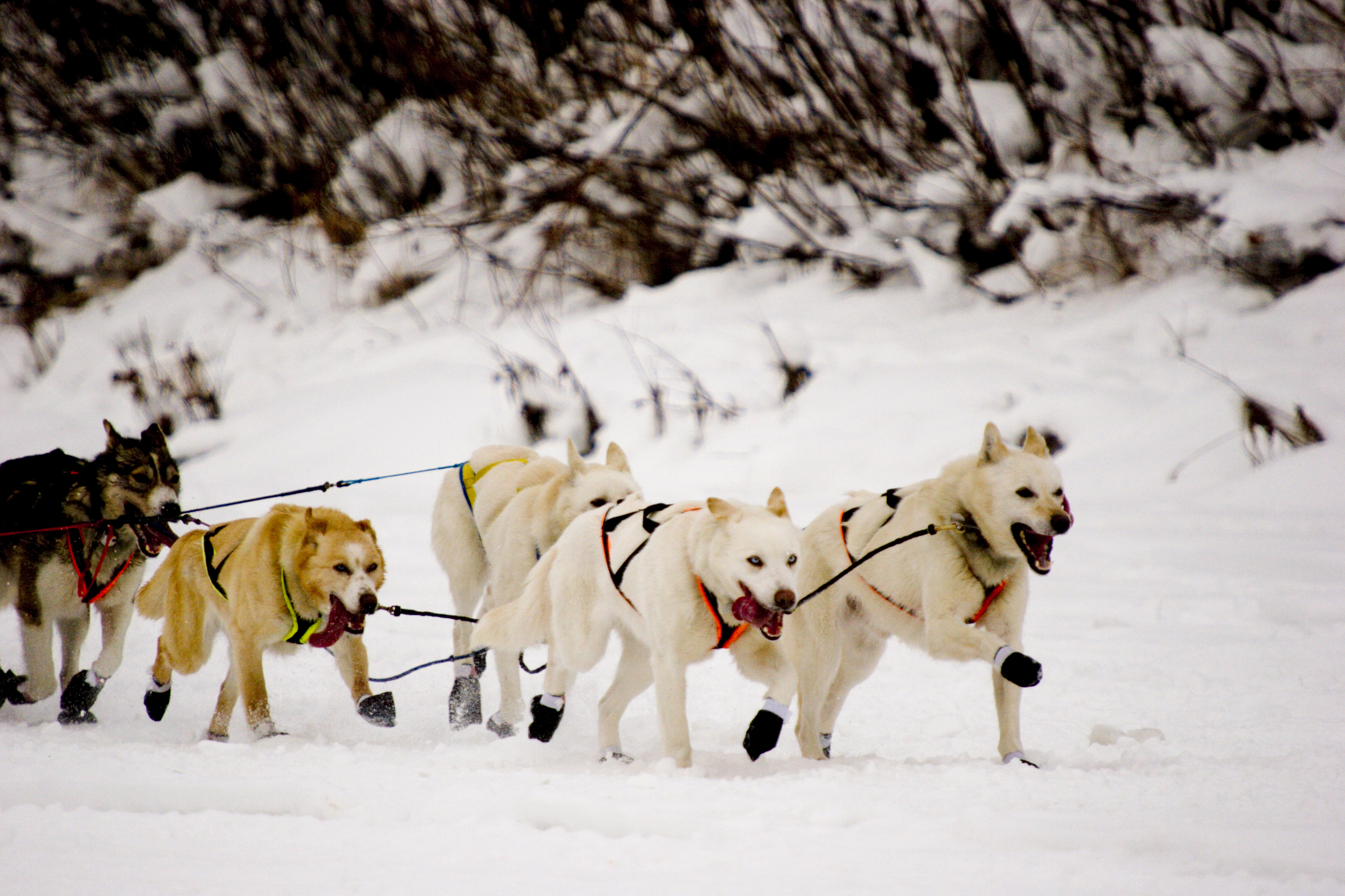 Husky sleds provide an excelltn travel experience through the Yukon winter