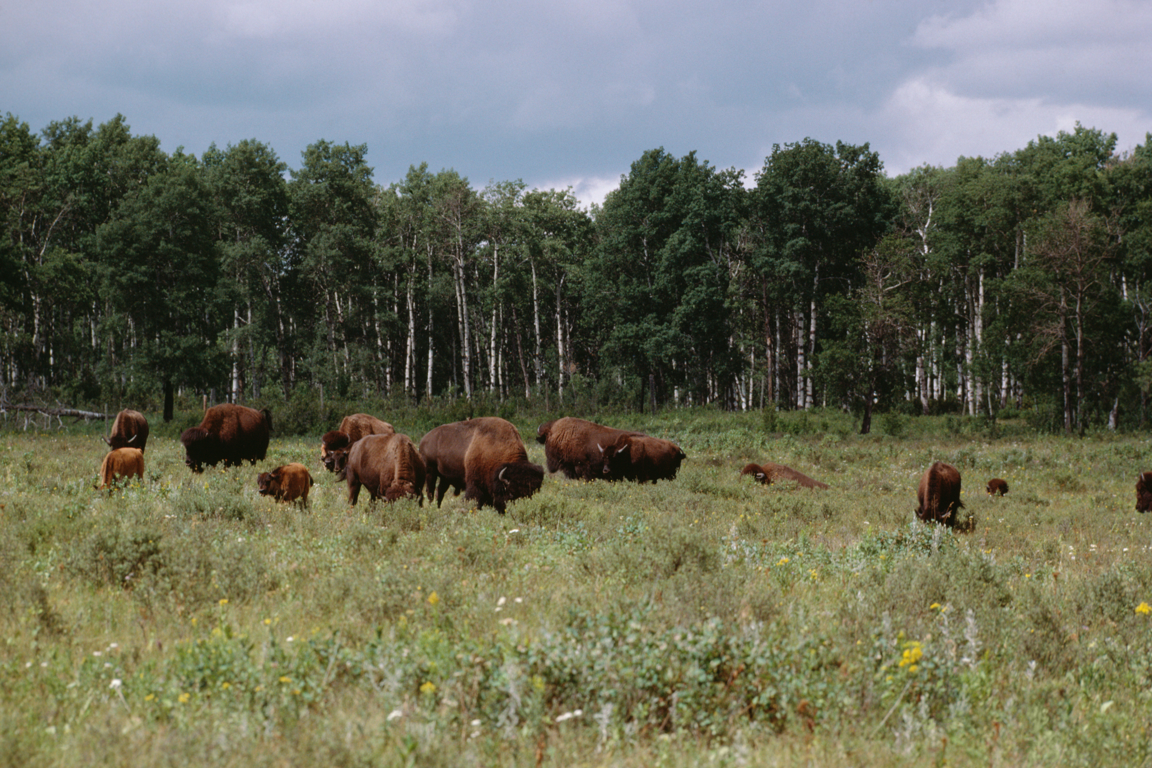 Manitoba is home of wild bison