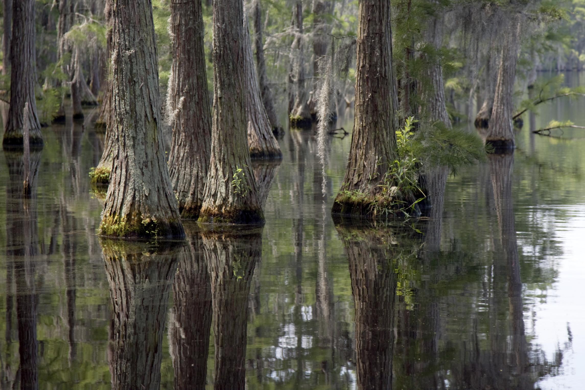 Swamp trees in Georgia