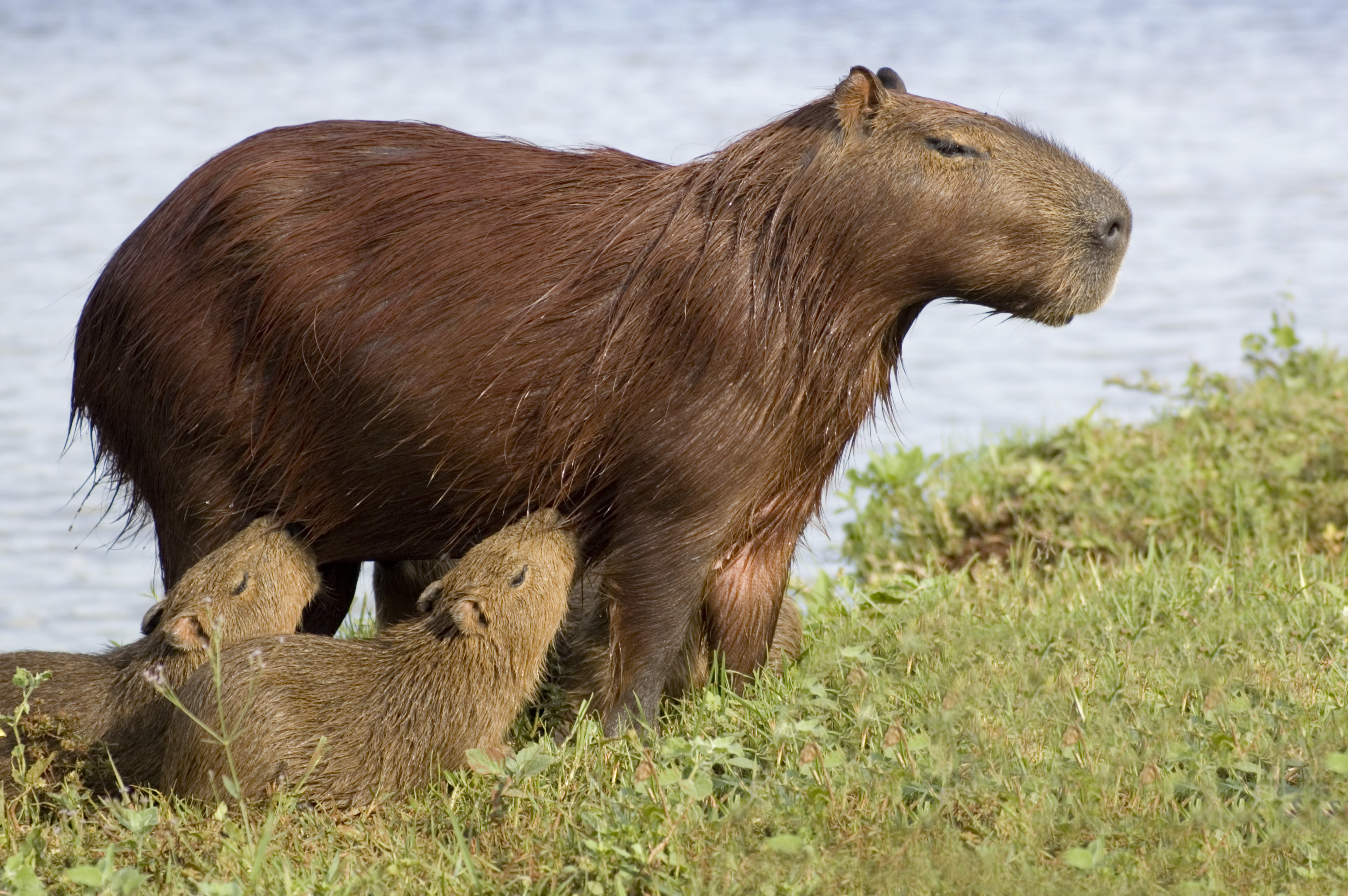 Capybara found at Los Llanos