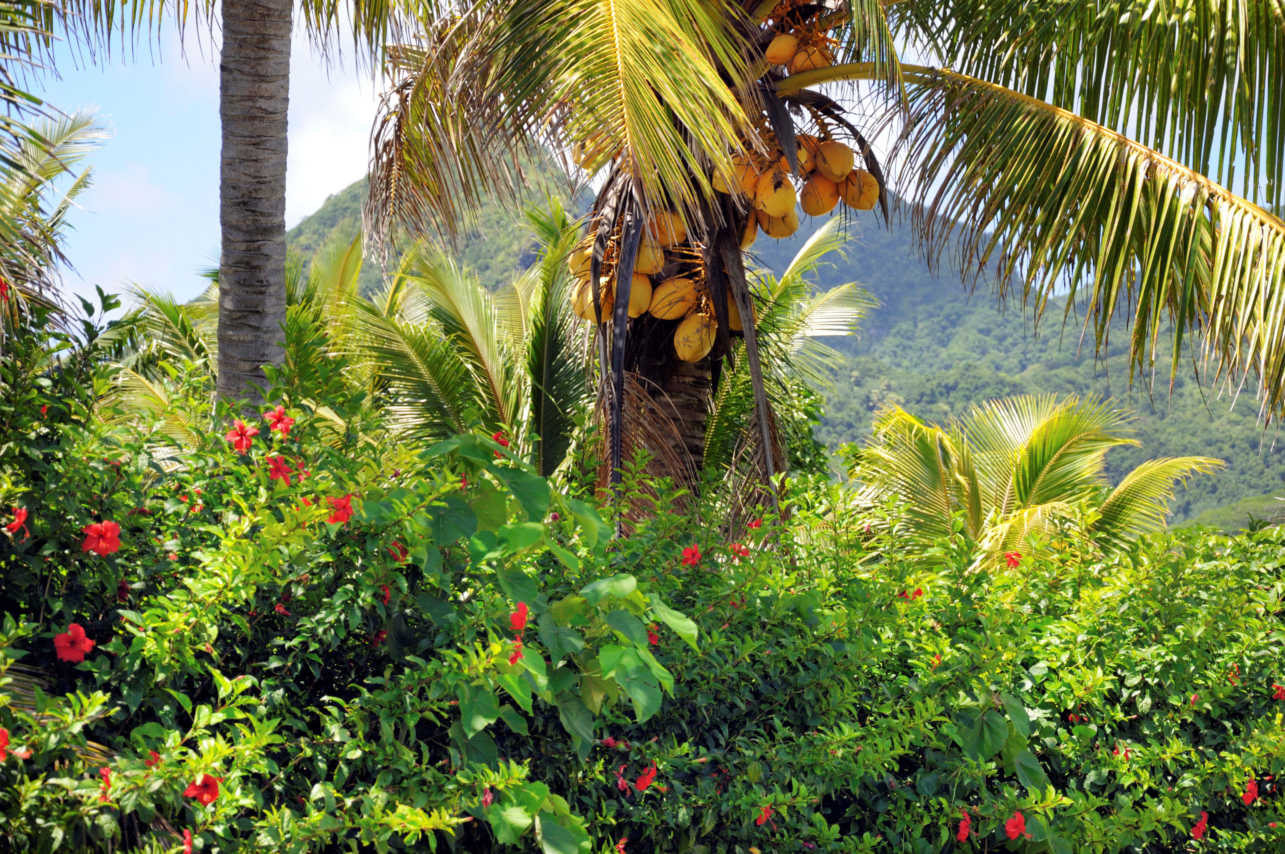 Coconut palm on Rarotonga Island, Cook Islands